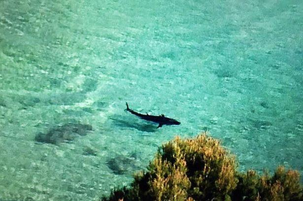Un rechin da tarcoale unei statiuni aglomerate din Mallorca. Turistii terifiati au fotografiat creatura imensa