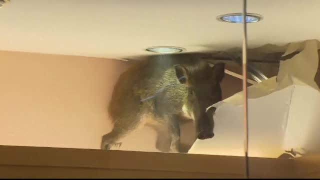 Scene incredibile intr-un mall din Hong Kong. Un porc mistret a cazut din tavan, iar intreaga scena a fost filmata