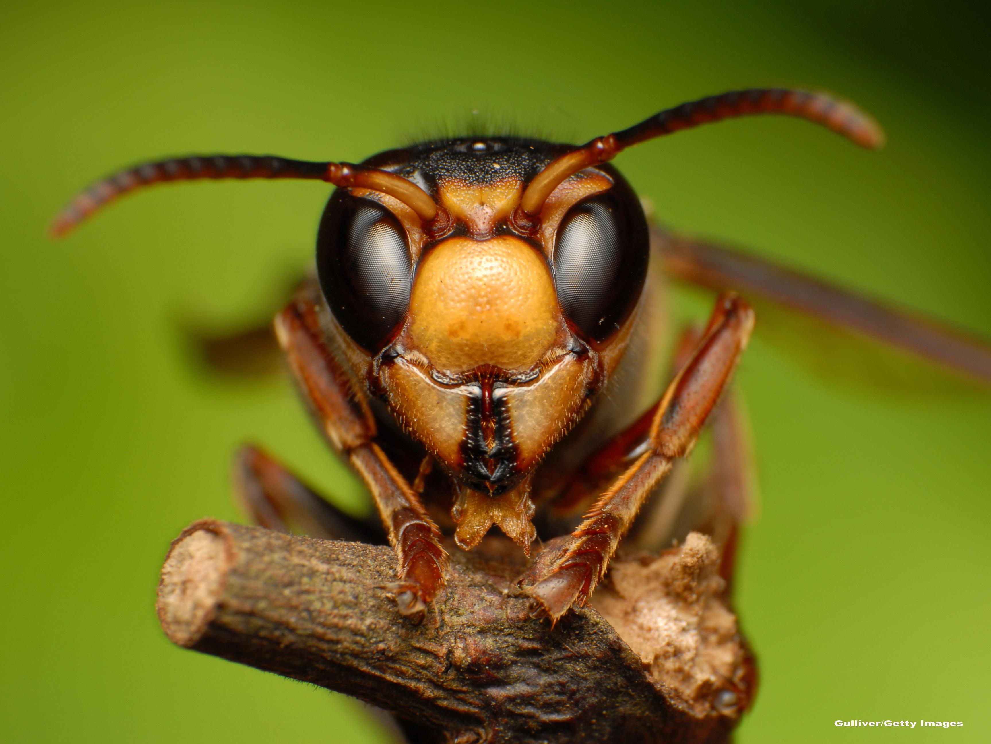 Razboiul speciilor. Australia aduce o micro-viespe din Malaysia ca sa distruga super-coloniile furnicilor nebune