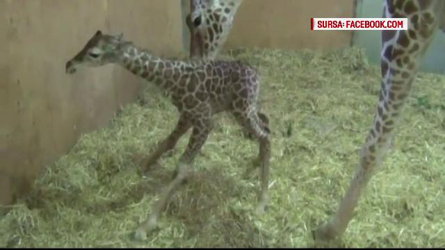 Momente inedite surprinse de camera, zoo. Un pui de girafa invata sa mearga, ajutat de mama lui