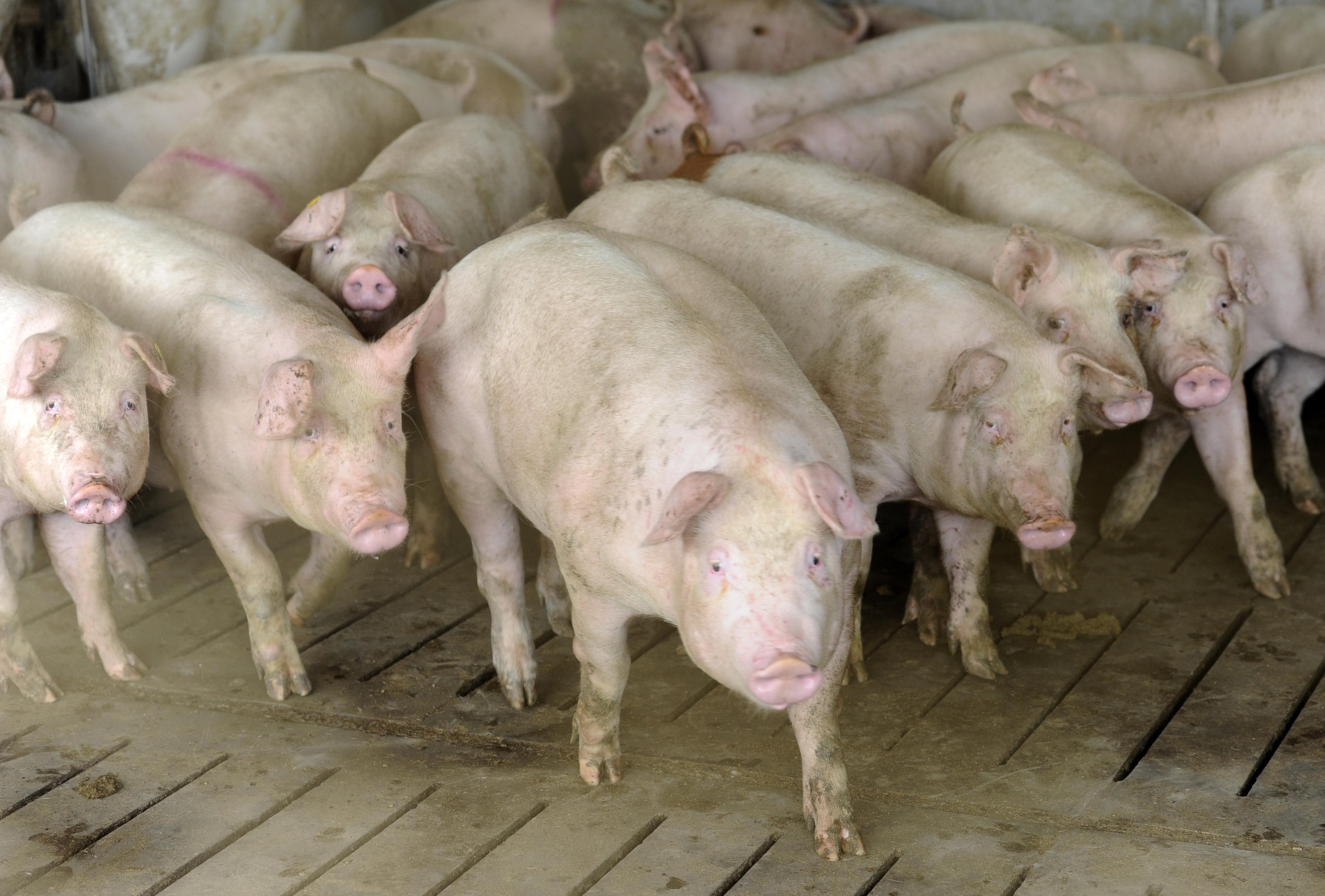 Focar de pesta porcina africana la granita Romaniei. ANSVSA a inchis targurile de animale pe o perioada nelimitata