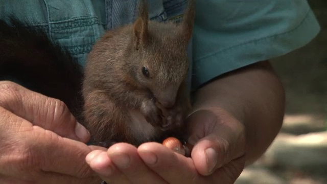 A salvat o veverita bolnava, iar acum i-a devenit animal de companie si il insoteste peste tot.