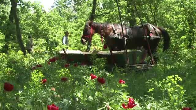Cu calul si gratarul in mijlocul rezervatiei de bujori. Romanii iesiti la iarba verde nu au tinut cont de zona protejata
