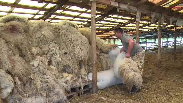 Solutia autoritatilor pentru ca lana sa nu mai fie aruncata la gunoi de ciobani. Crescatorii de oi spun ca nu ajuta la nimic