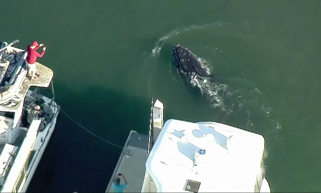 O balena cu cocoasa a