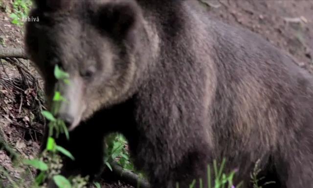 Doi barbati din Buzau au fost atacati de o ursoaica cu pui, pe un drum forestier. Imprejurarile misterioase ale incidentului