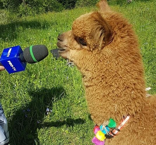 Alpaca lui Marian Godina are o noua infatisare. Ce a patit simpaticul animal. FOTO