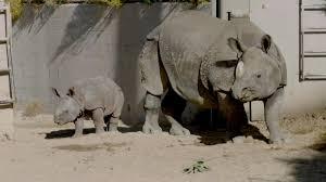 Doi pui de rinocer, principala atracție la o grădină zoologică din SUA