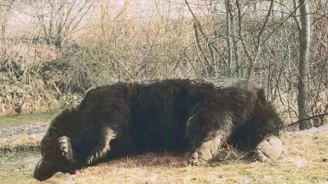 Anchete după uciderea ursului Arthur. Câte zile pe an muncește prințul acuzat de braconaj în România
