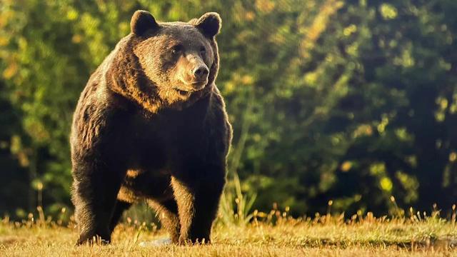 """De ce s-a aflat abia în mai de uciderea ursului """"Arthur"""", dacă el a fost împușcat în martie"""