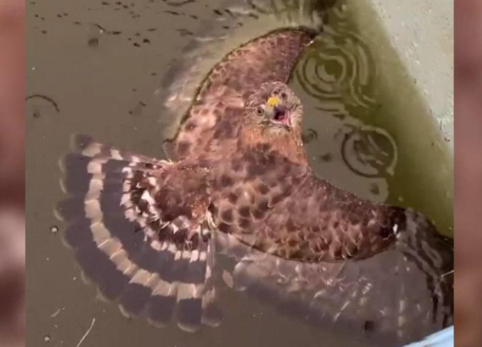 O femeie a salvat un șoim aproape să se înece în piscină. Ce s-a întâmplat după