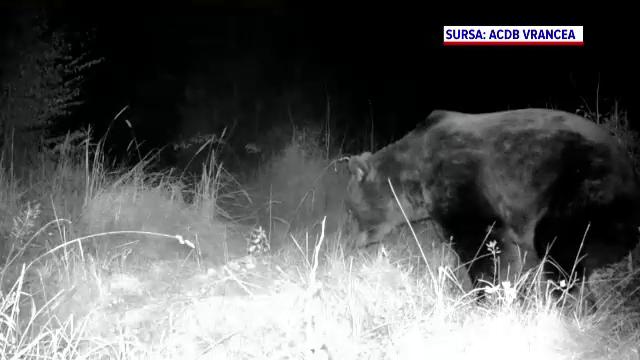 """Noi detalii in cazul ursului """"Arthur"""". Blana animalului, identificata intr-o tabacarie din Targu Secuiesc"""
