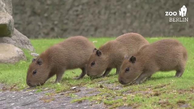 Primii pui de capibara, născuți în ultimii 6 ani în captivitate, au explorat în premieră Grădina Zoologică din Berlin
