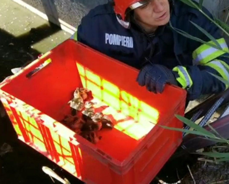 Boboci de rață sălbatică, salvați de pompieri dintr-un canal, la Iași