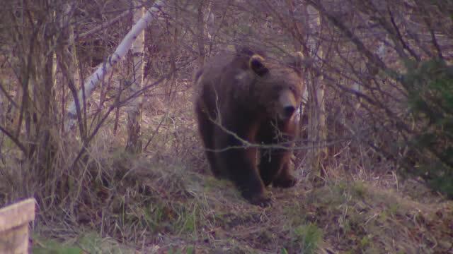 Modificări de procedură după uciderea ursului Arthur. Precizările ministrului Mediului