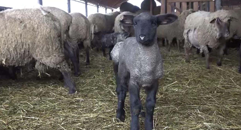 Înșelăciune cu miei la Bistrița-Năsăud. Cum s-au ales mai mulți fermieri cu o pagubă de 160 mii de lei