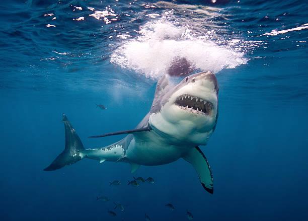Un australian a murit după ce a fost muşcat de picior de un rechin în timp ce practica surfingul