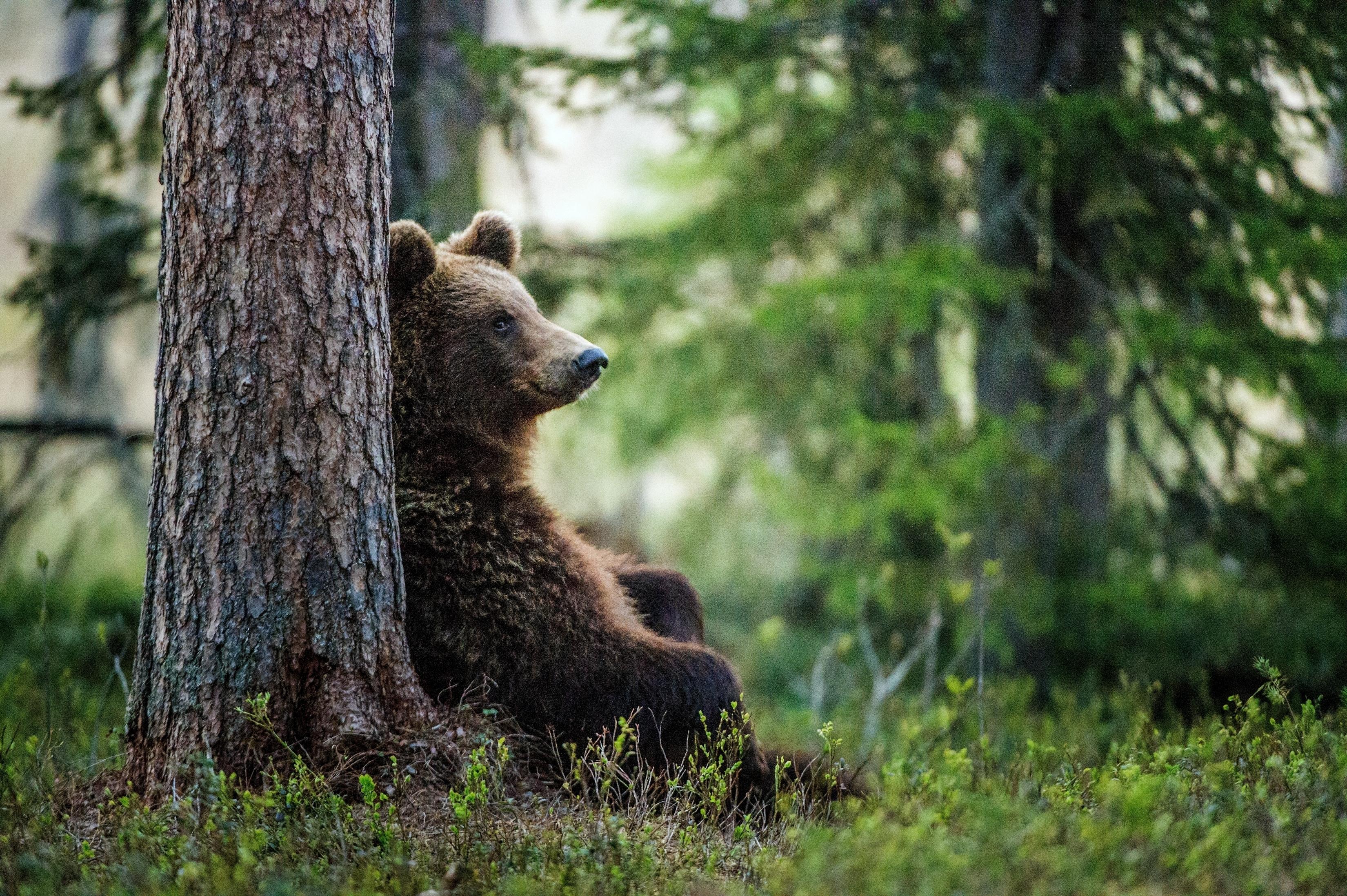 Situațiile în care Ministrul Mediului ar aproba noi derogări pentru împușcarea urșilor