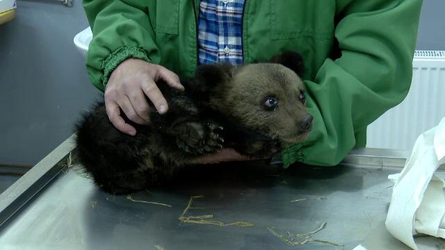 Un pui de urs a ajuns în grija medicilor veterinari