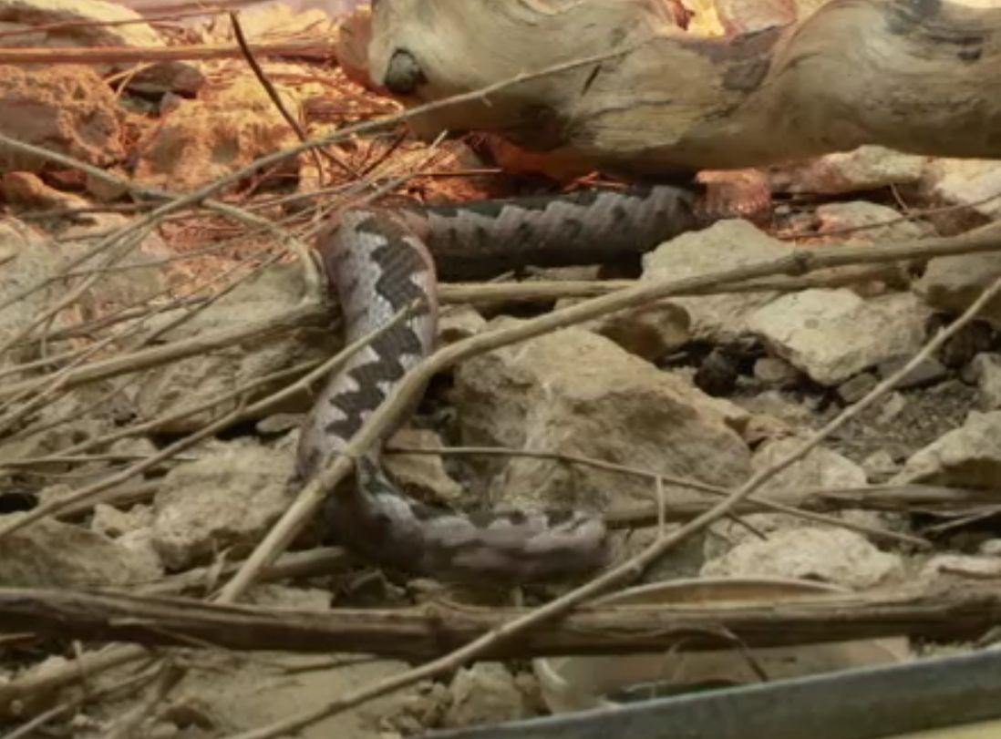 Un ieşean risca să moară după ce a fost muşcat de o viperă. De ce a pus mâna pe ea