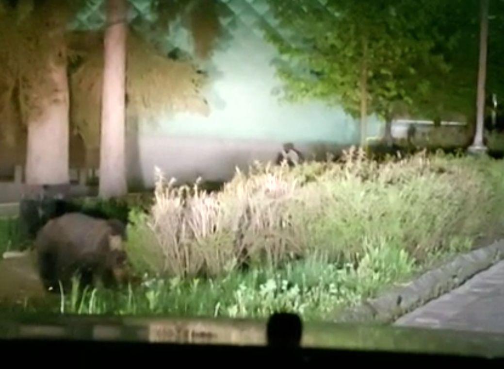 Un urs a poposit pe o stradă din Tușnad. A trecut neobservat minute în șir | VIDEO