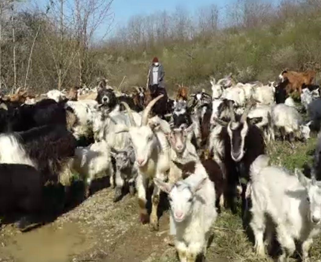 Produsele din lapte de capră, preferate de români. Soluția găsită de doi producători