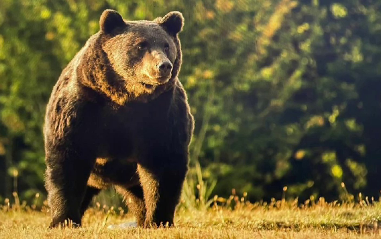 La trei săptămâni de la cazul ursului Arthur, autoritățile n-au pus în practică nimic din ce au promis