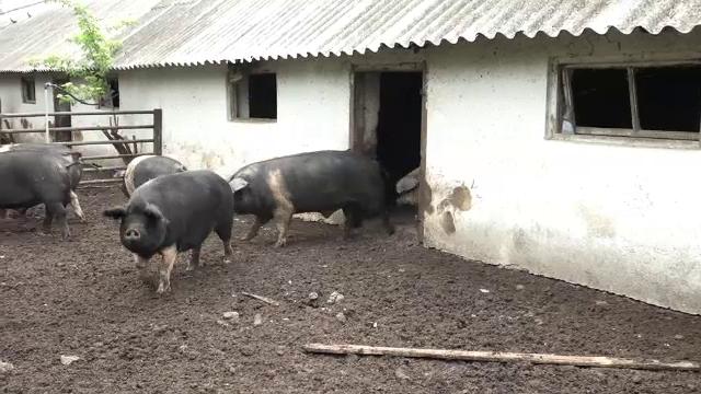 Mai puțini bani pentru susţinerea crescătorilor de porci din rasele tradiţionale Bazna şi Mangaliţa