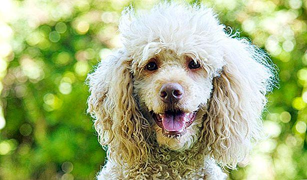 Un pudel asimptomatic, primul câine din Spania detectat cu varianta britanică de Sars-CoV-2