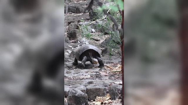 O țestoasă uriașă, descoperită în Galapagos. Se credea că specia a dispărut acum 100 de ani