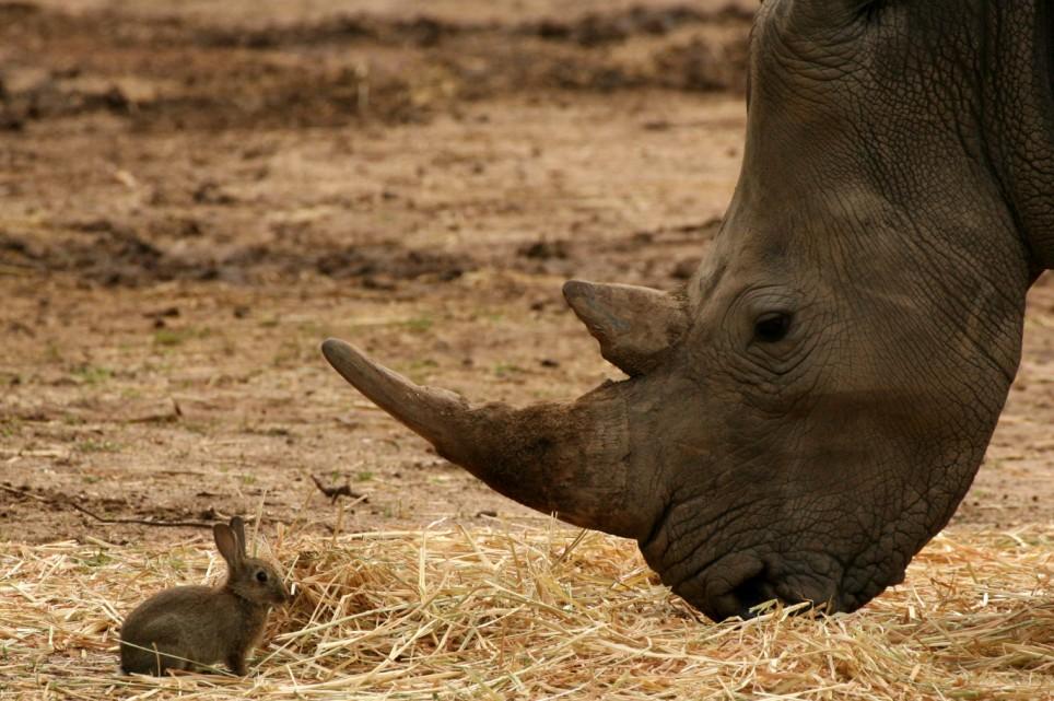 Barbat arestat in Belgia pentru furtul unui corn de rinocer impaiat. Motivul jafului este uluitor
