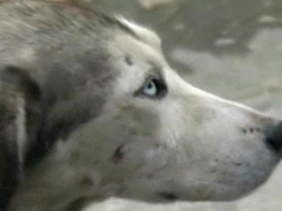 Husky Siberian, lovit si deshidratat, abandonat pe strazile din Constanta!