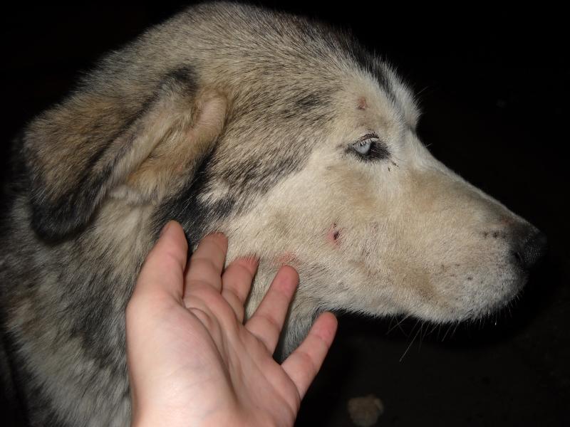 Viata de caine! Husky-ul gasit pe strazi in Constanta, abandonat din nou!