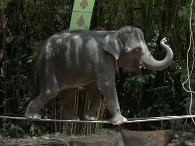 Nu e gluma si nici trucaj! Elefantii chiar merg pe sarma! Video