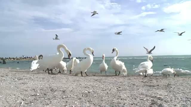 Zeci de lebede, pe plaja din Eforie Sud. Pasarile cautau hrana si adapost de vantul puternic