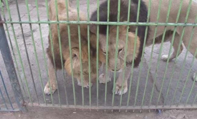 Cinci lei din Baia Mare, salvati de o organizatie non-guvernamentala. Felinele vor fi duse intr-o rezervatie din Africa