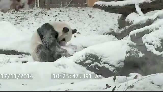 A facut tumbe, s-a dat de-a dura si s-a tolanit pe zapada. Ursul panda Mao s-a bucurat nespus de prima zapada din acest sezon