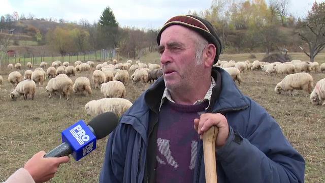 Ciobanii de la noi prefera sa arda lana decat sa o dea in pierdere.