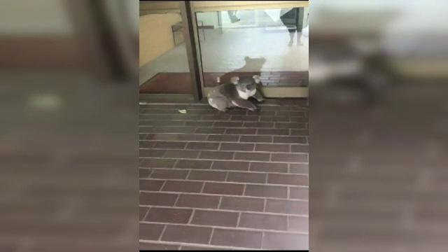 Urs koala filmat plimbandu-se prin birourile unei firme de contabilitate. Cum a fost scos din cladire