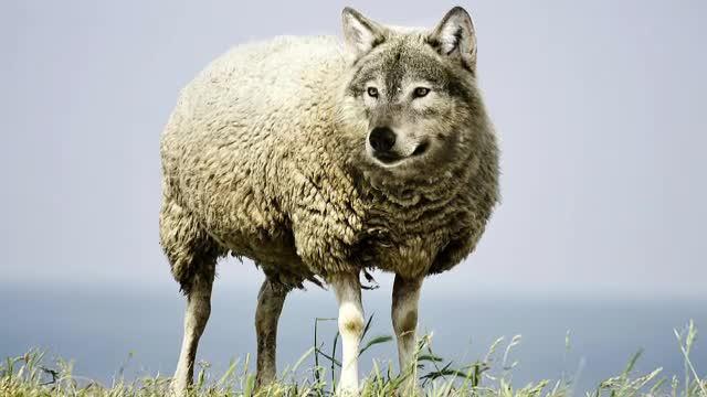 """Campania """"Alege oaia"""", ironizată pe Facebook: """"O națiune de oi va naște un guvern de lupi"""""""