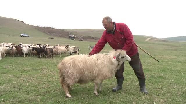 """Primele obstacole pentru campania """"Alege Oaia"""": ciobanii nu au unde să sacrifice animalele"""