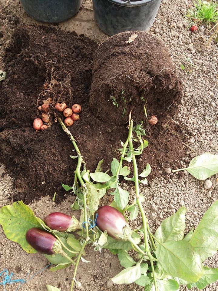 Un român a reușit să obțină o plantă care produce și cartofi și vinete