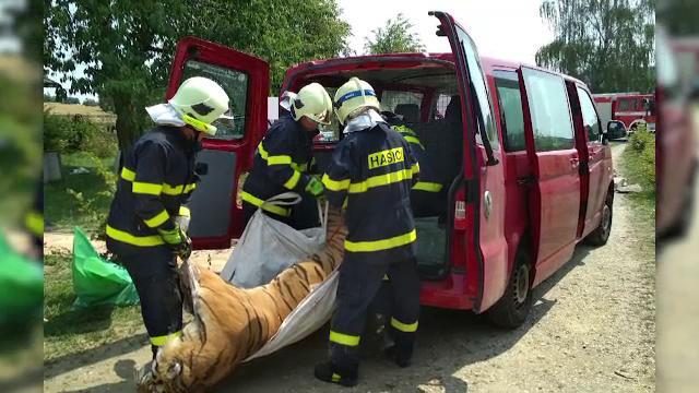 Doi tigri au scăpat de la un ZOO din Indonezia. Un angajat a fost sfâşiat mortal