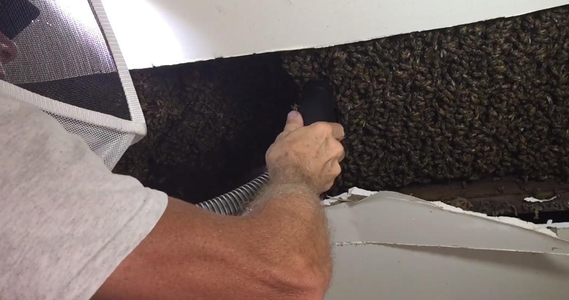 20.000 de albine și-au făcut cuib în mansarda unei case. Cum au reușit să le scoată de acolo