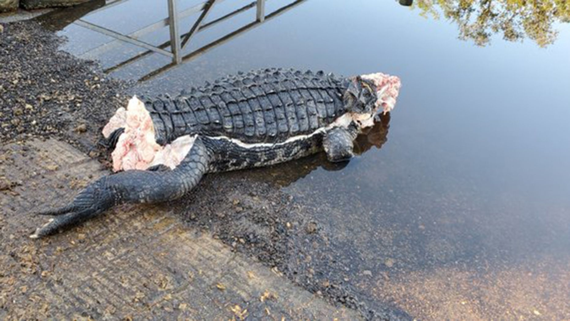 Un aligator a fost găsit mutilat în Florida. Care ar fi cauza