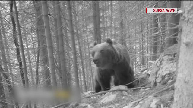 O mașină în care se aflau 3 oameni a lovit mortal un urs, pe A3. Ecologiștii cer soluții