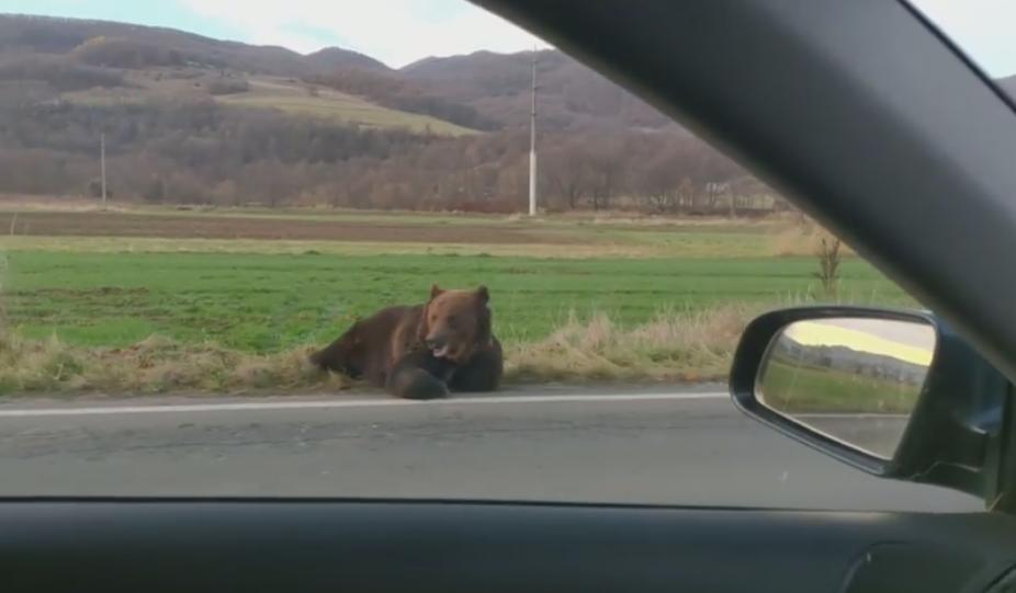 Jandarmii din Sibiu au armă de tranchilizat urși, dar nu și tranchilizant. Cum se descurcă