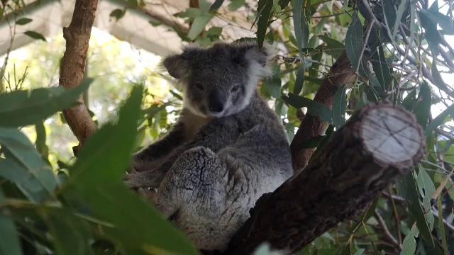Tragedie în Australia. Populații întregi de urși koala ucise în timpul incendiilor