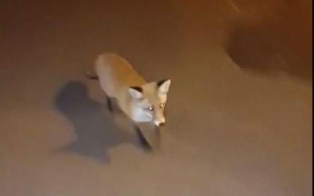 VIDEO. O vulpe a fost filmată pe o stradă din București