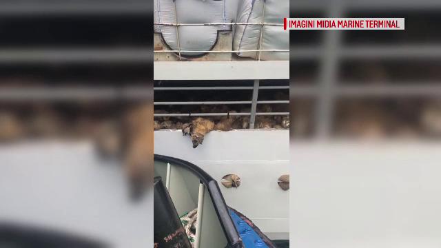 Ce s-a întâmplat cu cadavrele de oi din portul Midia. Anunțul autorităților